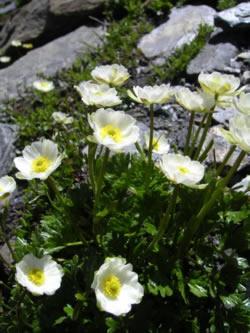 Alpen-Hahnenfuss