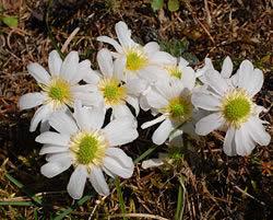 Anemonen-Schmuckblume