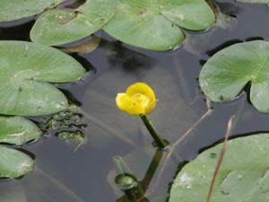 Gelbe Teichrose, Mummet