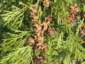 Lawsons Scheinzypresse, Oregonzeder